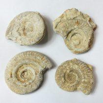 Fosszilis Ammolit Egész Csiga Hildoceras Harpoceras ~40-57x36-48x12-22mm Somerset, UK, Jura kor