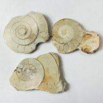 Fosszilis Ammolit Fél Csiga Hildoceras Harpoceras ~52-59x41-46x7-9mm Somerset, UK, Jura kor