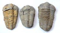 Megkövesedett Trilobita Háromkaréjú Ősrák Fosszília ~73-101x50-58x20-32mm Marokkó, Devon Kor