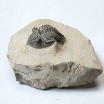 Megkövesedett Cornuproetus Trilobita Háromkaréjú Ősrák Fosszília Kőzetben ~70x52x42mm Atlasz Hegység, Marokkó, Devon Kor