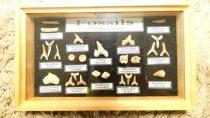 45-70 Millió Éves 26 Darabos Őskori Cápafog Gyűjtemény Üvegezett Fa Dobozban Marokkóból